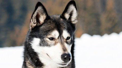 –SAKEN BLIR ANKET: Hundeeieren opplyser at han ble gjort kjent med kjennelsen for en ukes tid siden, og at saken vil bli anket. Illustrasjonsfoto av hunderasen alaska husky