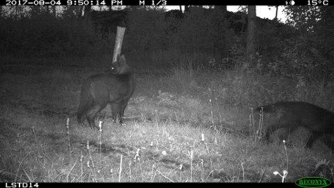 Valper som er en krysning mellom ulv og hund har blitt funnet i Södermanland i Sverge.