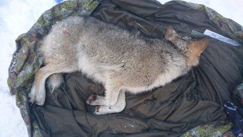 Bedøvet: Denne ulvevalpen ble bedøvet og merket på Mangenskogen i helgen. Foto: Statens naturoppsyn