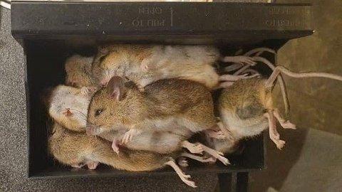 En beboer i Drammen fikk et vanvittig antall mus i sin musefelle - nå er det museår på Østlandet. Foto: Anita Dalene