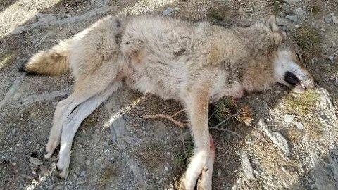 Denne ulven ble felt i Kvamsfjellet i Nord-Fron kommune i Gudbrandsdalen. Illustrasjonsfoto: Statens naturoppsyn / NTB