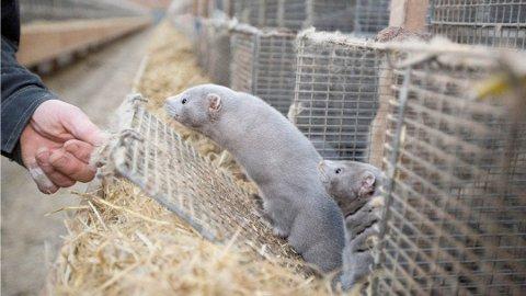 Landbruksdepartementet har kommet fram til en kompensasjonsordning for pelsdyrbøndene som må legge ned driften.