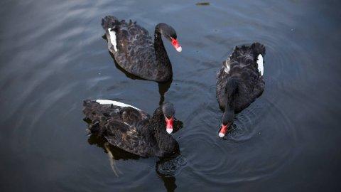 GODE VENNAR: Dei tre svanene er gode vennar no, men kva skjer når det er tid for å få ungar. Kven av damene vil stikka av med mannen i flokken?