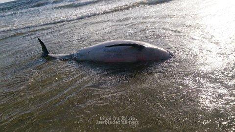 En død nise lå i sjøkanten på Bore i går kveld.