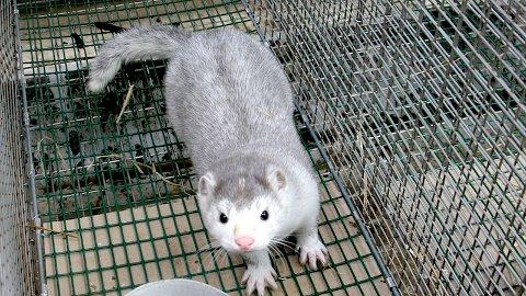 Mattilsynet har etter nye tilsyn gitt pelsdyrbønder pålegg om å rydde opp etter at det er funne sjuke og skada dyr. (Illustrasjonsfoto)