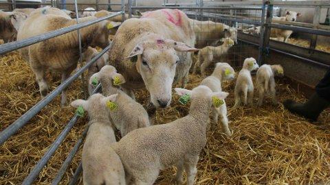 Mange om beinet: Tre av lamma har blitt kopplam, men fekk kome på besøk til mora.
