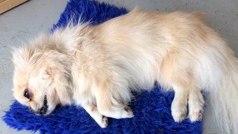 I morgen skal politiet avhøre eieren av den amerikanske bulldogen som tok livet av Kompis.