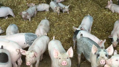 Mattilsynet har det siste året vært på uanmeldt tilsyn i 228 besetninger med slaktegris i Rogaland. Inspektørene fant ett eller flere avvik i 166 av disse besetningene. Det utgjør 73 prosent av dyreholdene.