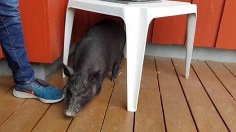 SKULEGRIS: Ungar i Kong Magnus gate på Rosseland ved Bryne kom over den svarte grisen ved Rosseland skule. Grisen fulgte etter dei heim, og no er eigaren etterlyst på Facebook.