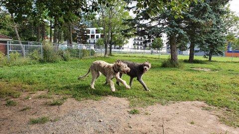 BLE SYK: Den irske ulvehunden Vilje på 2,5 år (t.h) begynte ifølge eieren å hoste noe voldsomt natt til mandag.