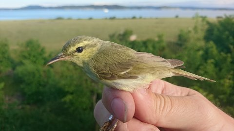 FØRSTE GANG I NORGE: Det er første gang at et eksemplar av arten einersanger er registrert i Norge. Den ble fanget på Jomfruland mandag morgen.