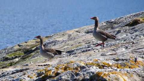 GRÅGÅS: Viss bøndene på Halsnøy får det som dei vil, blir det færre slike gjess å sjå på beiteområde på øya framover. (Arkivfoto: Jens Ripel)