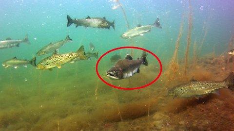 PUKKELLAKS: Den innringa fisken er høgst truleg ein pukkellaks. Bildet er tatt i sjøen nær utløpet av Guddalselva.