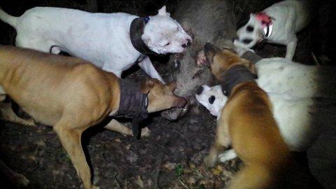 BITER SEG FAST: Bildet er tatt fra en av videoene politiet har konfiskert fra en av de tiltalte. Den viser hvordan hundene ble brukt under jakt på villsvin i Frankrike, hvor slik jakt er lovlig. Politiet mener å ha bevis på at slik jakt også har blitt gjort i Norge.