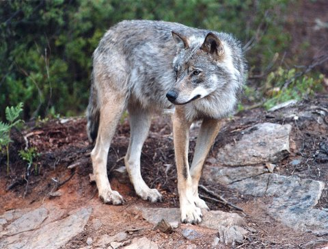 ROVDYR: Mandag 1. oktober starter lisensjakta på ulv i vår region.