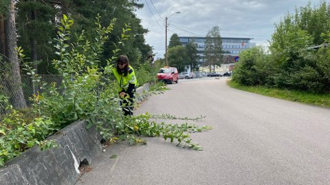 Rydder opp: Hvis vegetasjon har vokst så mye at man ikke ser gående og syklende, må det bort. Her tar trafikkbetjent i Kongsberg kommune, Marie Kvamme et lite røsk i Krags gate.