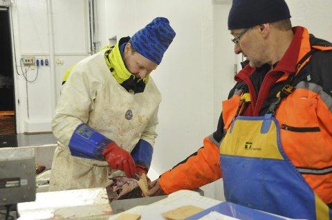 ØRESTEIN: Stian Kleven og Kjell Gamst startet innhentingen av øresteiner på Napp. Deretter går turen helt opp til Varangerfjorden før de igjen setter kursen sørover. Alle foto: Kai Nikolaisen