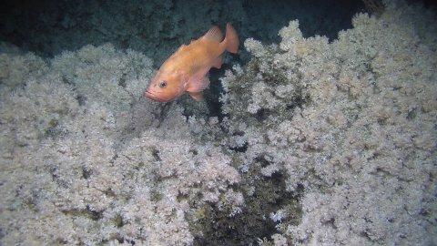 En uer svømmer rolig over verdens største kaldtvannskorallrev.