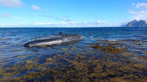Spermasetthvalen i fjæra ved Nordland.
