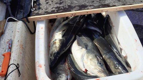 Fritidsfiskere forteller om stor, fin sei i Vestfjorden.