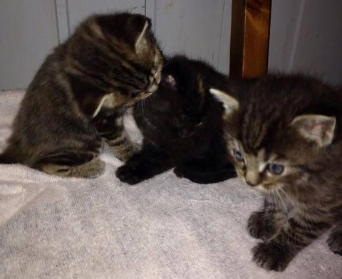 Disse tre kattungene ble funnet i en pappeske i bakgården til Øre Villa Kro tirsdag kveld. – De er mellom 6-8 uker gamle og hadde ikke klart seg mye lenger ute i kulda, sier Anita Bækkevold på Kattehuset.