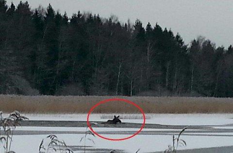 Sloss for livet: I to-tre timer sloss ungelgen for livet i Vansjø. Helt utslitt ble den etterpå avlivet.
