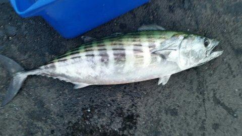 I forrige uke fikk Susanne Emilie Tran denne Pelamiden på kroken da hun fisket i Mossesundet.