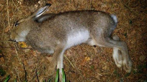HAREPEST: Denne haren ble funnet i Våler i fjor høst, og Veterinærinstituttet påviste harepest.
