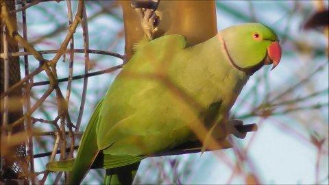 TETT PÅ: Nils-Jørgen Kraft fikk gode videoklipp tett på Gunnar. Papegøyen lager mange forskjellige fuglelyder.
