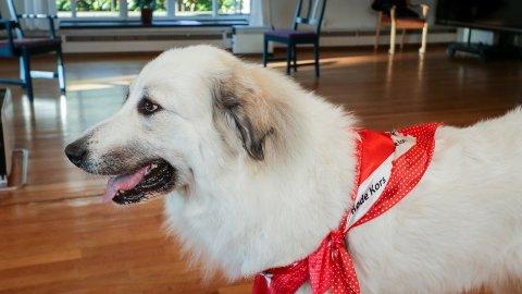 EGET SKJERF: Pyreneerhunden Luna Kiera (3) er klar til å dra på besøk.