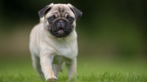 SØT, MEN SYK: Mopsen er en av de hunderasene som ekstremavl har gått hardt utover. Foto: (Getty Images)