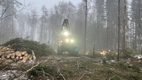 FELLER TRÆR: Granholtet ved Bygdetunet må vike for ny og bedre skog.