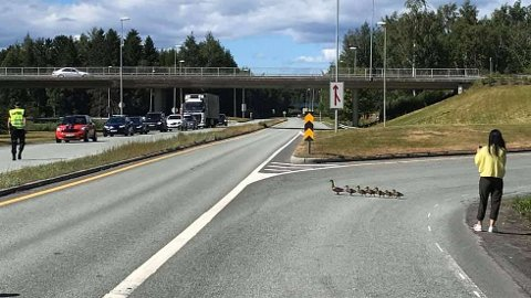 En andefamilie fikk lørdag hjelp til å krysse E6 ved avkjøringen til Verdal.