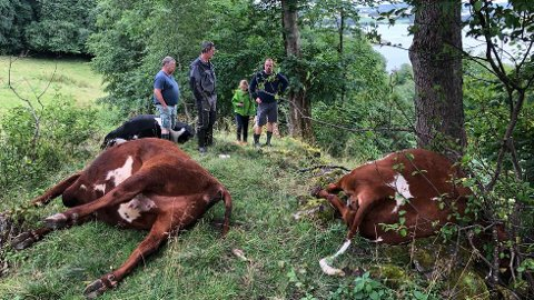 TRIST SYN: Dette synet møtte gårdeier Sivert Bragstad Rannem (til høyre) søndag formiddag. Fra venstre på bildet ser vi Helge Stuberg ved Mære landbruksskole, som mistet ei kvige, og Halvor Daling, som mistet tre kviger. Sammen med Rannem står datteren Lisa Bragstad Rannem.