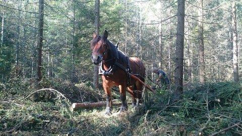 ARBEIDSHEST: Hesten Maya tar en tørn i Østmarka. Det er to hester som bytter på skiftene.