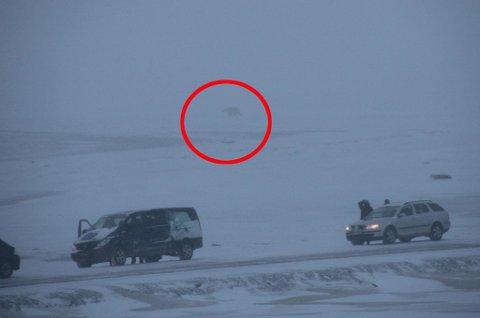 HER ER BJØRNEN: Isbjørnen ble bedøvet torsdag formiddag. (Foto: Linda Bakken)