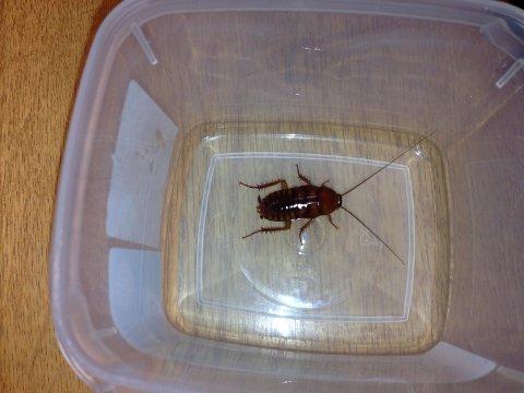 ORIENTALSK KAKERLAKK: Denne kakerlakken ble funnet på et Tromsø-hotell denne uka.