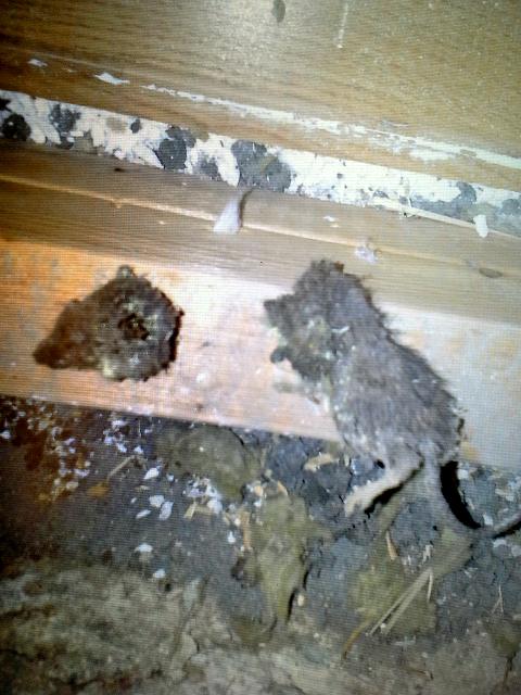 ROTTER: Her er døde rotter funnet under gulvet i et bolighus.