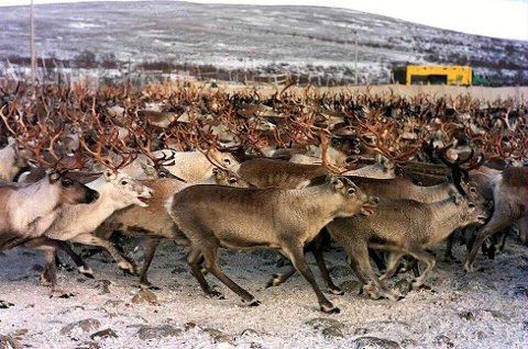 Tall NRK har offentliggjort viser at det er 23 reineiere som eier mer enn 1000 rein i Finnmark. Illustrasjonsfoto