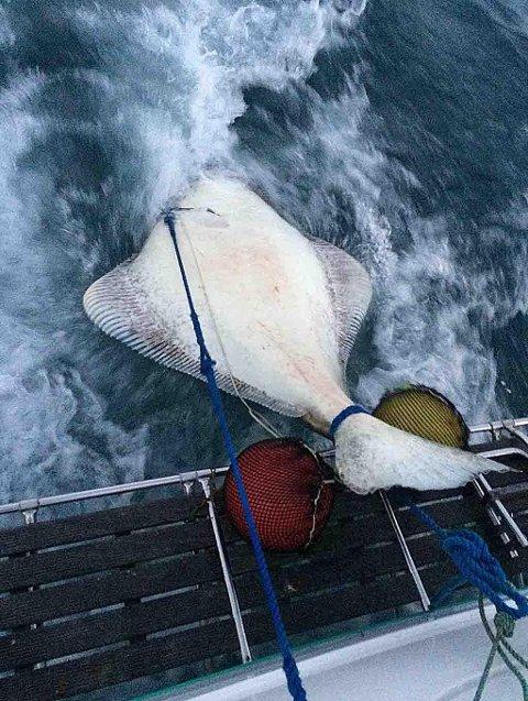 Den 230 centimer lange og 180 kilos tunge kveita måtte slepes etter båten inn mot land.