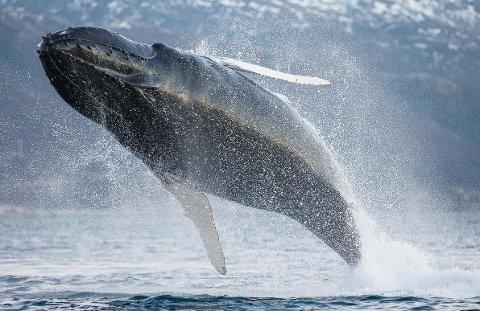Dette blinkskuddet tok hvalfotograf Espen Bergersen søndag ved Kårvika utenfor Tromsø.