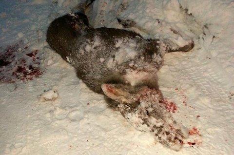 PÅKJØRT: Denne elgen omkom etter å ha blitt påkjørt i Målselv. Foto: Tor Eriksen, Målselv viltnemnd