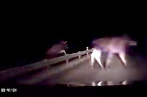 Her hopper to elger opp på veien foran bilen til Rosvold.