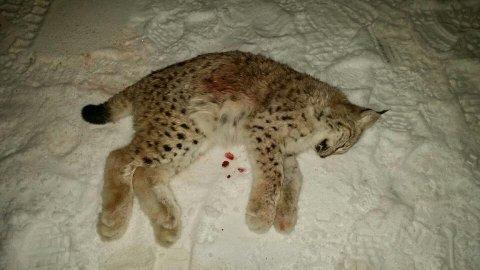FØRSTEDYR: Etter å ha konstatert at første dyr var en unge (bildet), kunne jakten på tipsa fortsette. Hun falt ved samme åte, bare timer senere. Dermed er gaupejakten over for denne gang.