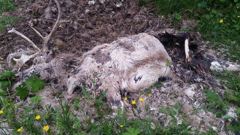 FORSVANT I HØST: De to reinene som ligger i fjæra på Slettaelva forsvant i høst. Eieren sier han vil få dem fjernet. Foto: Britt Nanny Fuglesteg