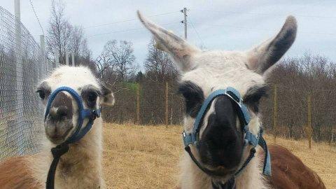 PÅ RØMMEN: Bjarne (8, til høyre) og Reidar (2) har forsvunnet fra sitt hjem på Senja. Nå letes det febrilsk etter dyrene.