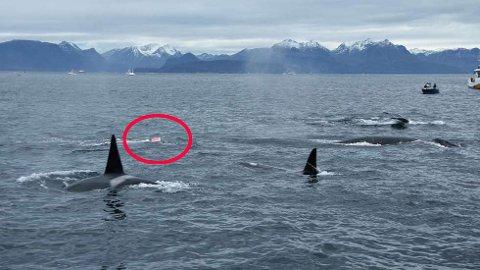 VIL REDDE HVALEN: Torsdag vil det bli satt i gang en redningsaksjon for å fri hvalkalven fra tauverket.