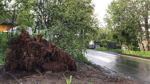 FLERE ROTVELT: Dette treet måtte gi tapt for vinden i Nordpolvegen i Tromsø.