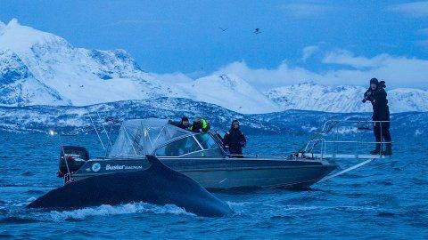 MERKES: Hvalene merkes med en luftkanon. Her fra en tidligere merking utenfor Skjervøy.