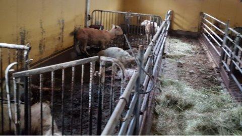 FRA FJØSET: Dette bildet tok Mattilsynet i bondens fjøs 14. september 2020. 11 av de 13 sauene som ble funnet i live måtte avlives. Høyet som ligger i midtgangen er kastet inn fra veterinærene som mottok bekymringsmeldingen kvelden før.